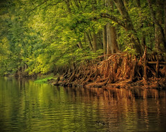 Cypress Knees on the Withlacoochee
