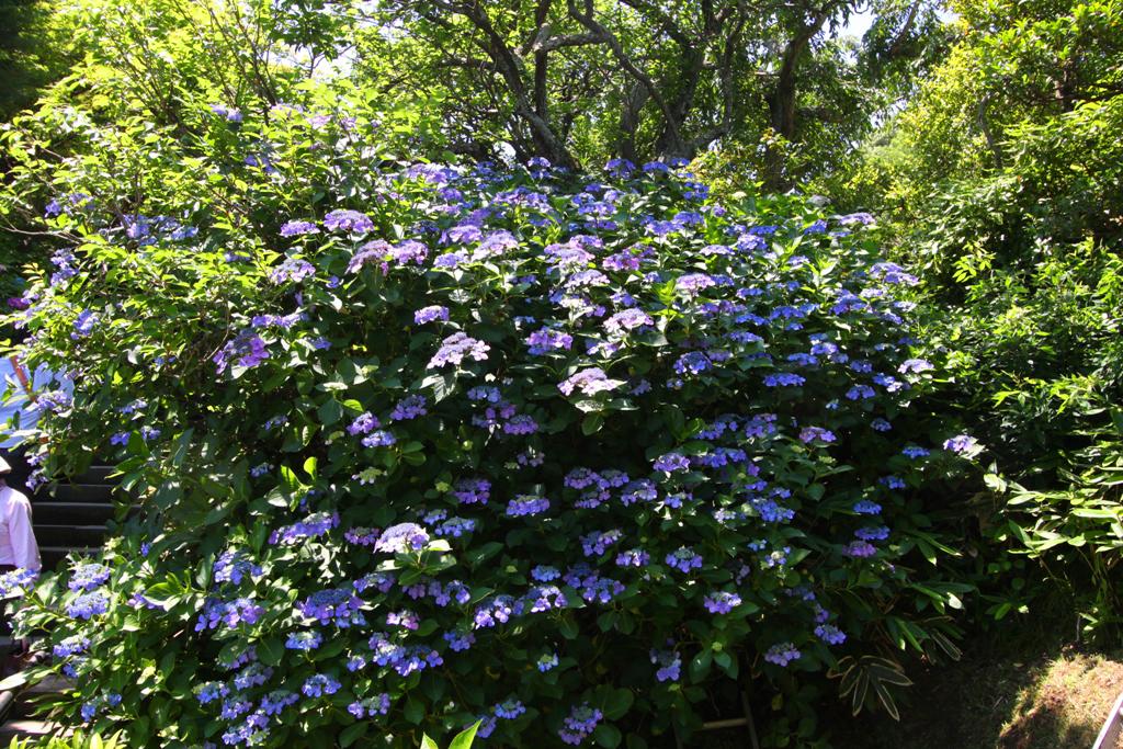 Kita Kamakura Hydrangea spot (23)
