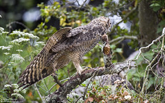 Great Horned Owl (Bob Stronck) Tags: goldengatepark owl greathornedowl stowlake bubovirginianus cityofsanfrancisco ©rmstronck stronckphotocom birdsofsanfranciscobay