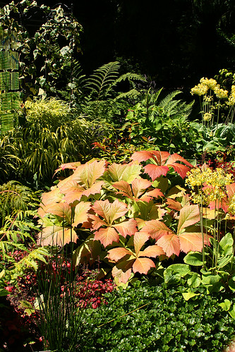 rodgersia etc