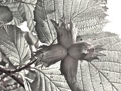 Hazel nuts (zanypurr) Tags: leaves nuts hazel veins odc