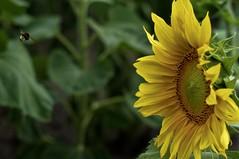 *     ......       (c-or^^) Tags: summer green nature field yellow flora sommer feld gelb sunflower grn sonnenblume pentaxkr