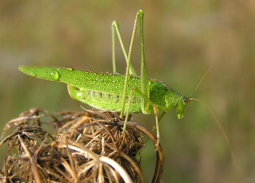 Phaneroptera falcata - Sickle-bearing Bush-cricket - Phanéroptère commun - 27/09/11