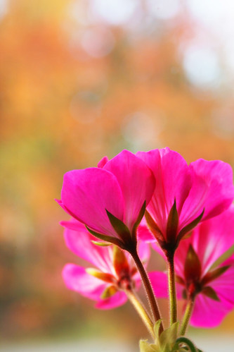Pink pelargonium with autumn colours