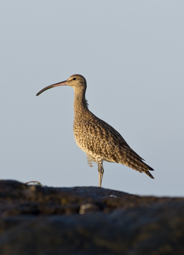 whimbrel on rocks 2