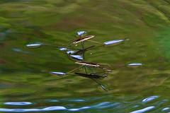Water Skaters, Gerris gracilicornis,  (aeschylus18917) Tags: macro nature water japan season insect spring nikon seasons  saitama pxt saitamaken skippers skimmers insecta gerridae  gerris hemiptera heteroptera  gerromorpha 200400mm 200400mmf4gvr waterscooters saitamaprefecture waterskimmers waterskeeters water d700 skatersskaters waterskaters  nikond700 danielruyle aeschylus18917 danruyle druyle gracilicornis    striderswater bugsmagic bugspond hann  200400mmf40gvr gerrisgracilicornis