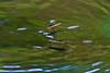 "Water Skaters, Gerris gracilicornis, コセアカアメンボ (aeschylus18917) Tags: danielruyle aeschylus18917 danruyle druyle ダニエルルール ダニエル ルール japan 日本 nikon d700 nature macro season 季節 seasons spring nikond700 saitama saitamaprefecture 埼玉県 saitamaken hannō 飯能市 insect ""water striderswater bugsmagic bugspond skatersskaters skimmers waterscooters waterskaters waterskeeters waterskimmers water skippers insecta hemiptera heteroptera gerromorpha gerridae gerris gracilicornis コセアカアメンボ gerrisgracilicornis 200400mmf40gvr 200400mmf4gvr 200400mm pxt edit"