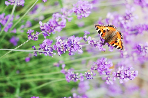 lavender / butterfly