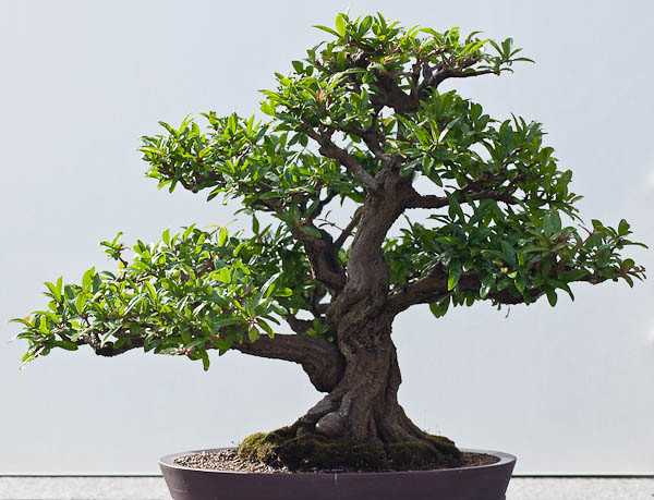 Twisted Pomegranate Bonsai