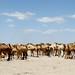 Milhares de camelos no meio dos oasis