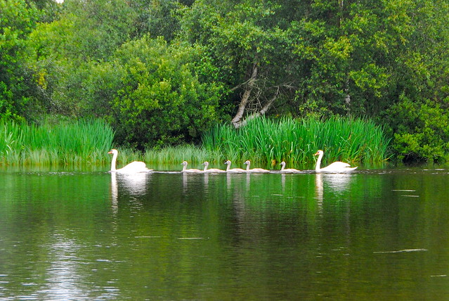 14/7.2011 the swans