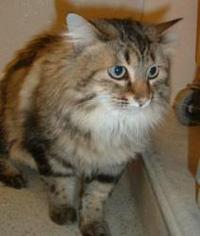 Longhair tabby cat