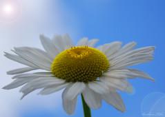 """Praise is like Sunlight. . .""  (Explored) (misst.shs) Tags: lighting summer sunlight flower nikon bluesky quotes daisy cliche sunflare hcs northidaho d40x praiseislikesunlighttothehumanspiritwecannotflowerandgrowwithoutitjesslair clichesaturday"