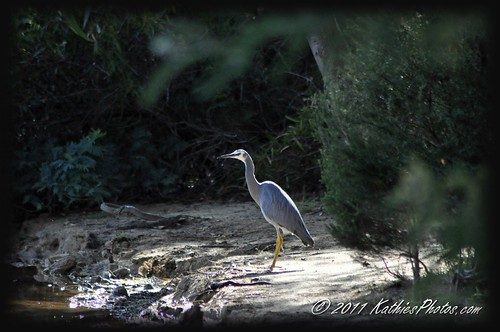 Grey Heron at the lake