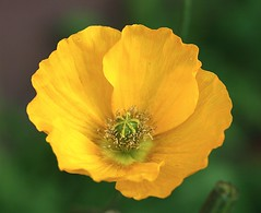 Poppy (Liisamaria) Tags: ngc floralfantasy perfectpetals macroelite awesomeblossoms oneflowerperday unforgettableflowers flowersorinsectsmacro mamasbloomers naturescarousel cherishyourdreamsandvisions