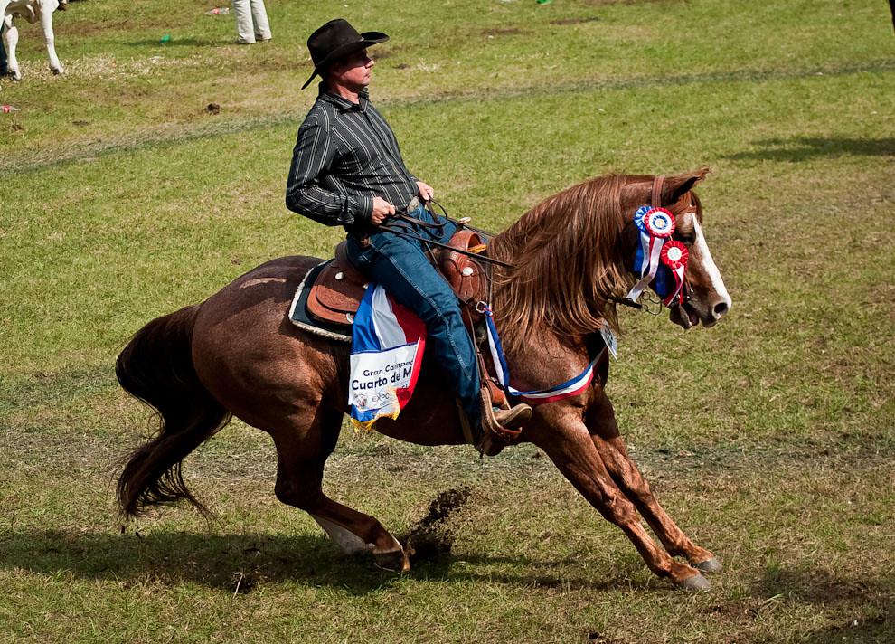 Un Jinete demuestra su habilidad de freno sobre el caballo de la raza Cuarto de Milla, la genética de esta raza está preparada para las carreras y otros deportes. Los caballos de la raza Cuarto de Milla son muy inteligentes, cosa que se pone de manifiesto en el aparte de ganado en donde se le permite al caballo tomar sus propias decisiones sobre donde y cuando volverse.  Por lo que es una raza muy fácil de entrenar y de conducir aún sin riendas, es un caballo obediente. (Elton Núñez)