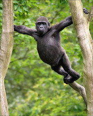 Young gorilla on the lookout (Foto Martien) Tags: holland netherlands dutch zoo monkey nederland ape congo apenheul aap veluwe apeldoorn cameroon angola gabon dierentuin equatorialguinea gelderland dierenpark tropicalrainforest westernlowlandgorilla lowlandgorilla hominidae westerngorilla democraticrepublicofcongo centralafricanrepublic gorillagorillagorilla mensaap congoriver hominoidea laaglandgorilla primatepark westelijkelaaglandgorilla westlicheflachlandgorilla monkeyzoo a550 gorilledesplainesdelouest martienuiterweerd bestcapturesaoi martienarnhem midwestafrica souternnigeria westelijkegorilla sony70300gssmlens sonyalpha550 gorilaoccidentaldellanura mygearandme mygearandmepremium mygearandmebronze mygearandmesilver mygearandmegold mygearandmeplatinum mygearandmediamond ringexcellence fotomartien