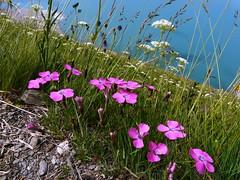 Oeillet oeil de paon=Dianthus pavonius - Mt Cenis 004