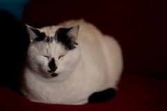 Monkey trying hard to get some shuteye (Craig Jewell Photography) Tags: pet white black cat iso100 monkey relaxing canine couch sofa tuxedo f22 chilled 1125sec ef135mmf2lusm canoneos1dmarkiv cpjsm craigjewellphotography