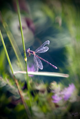 Dragonfly (Monica Photography) Tags: summer illinois dragonfly bokeh damselfly rollinssavanna lcdragons