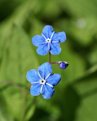 Two Blue - Blue-Eyed Mary (Jaedde & Sis) Tags: blue two flower green bud thumbsup bigmomma omphalodesverna friendlychallenges herowinner pregamewinner kærminde