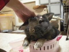 DSCN4932 (minimaltama) Tags: pet rabbit bunny animal  lionhead