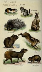 Anglų lietuvių žodynas. Žodis cavia porcellus reiškia <li>cavia porcellus</li> lietuviškai.