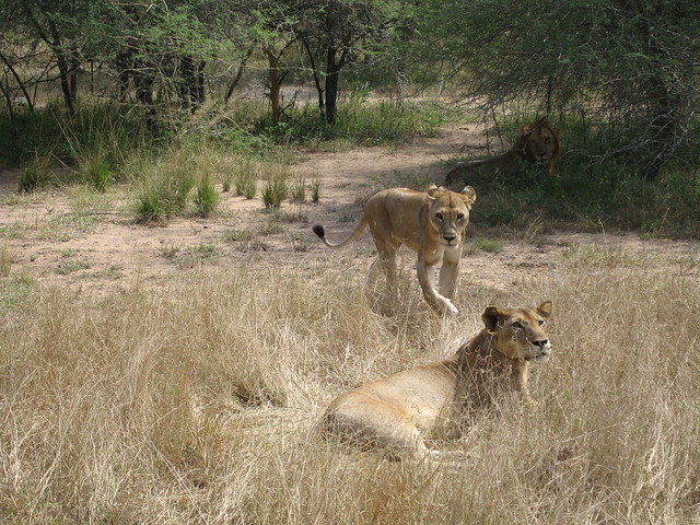 Lions viewed on a wildlife safari