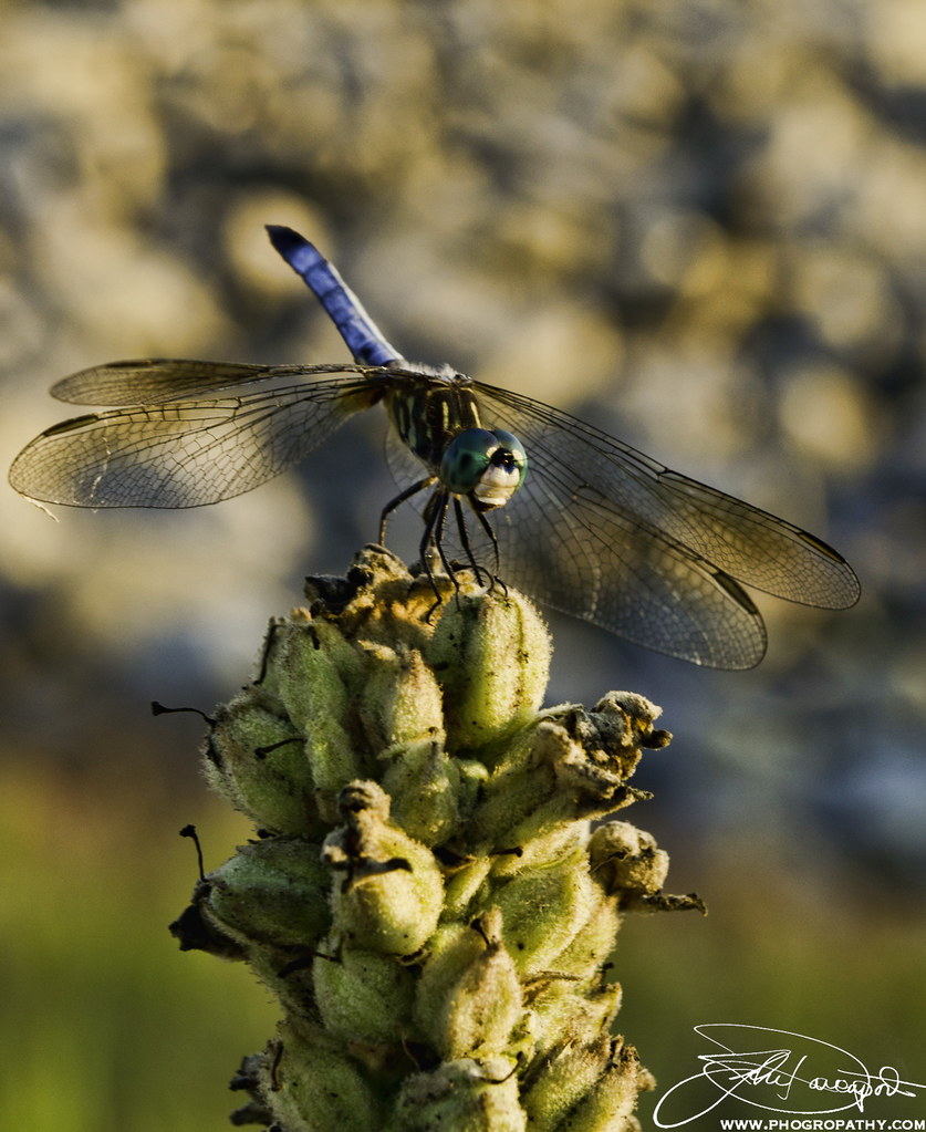 Dragon Fly Watching the Sunset