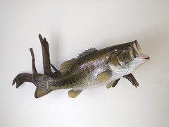 "Fish Taxidermy • <a style=""font-size:0.8em;"" href=""http://www.flickr.com/photos/27376150@N03/5986905014/"" target=""_blank"">View on Flickr</a>"
