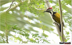 Woodpecker (FLASH MEDIA CREATIONS) Tags: india bird nature birds advertising photography woodpecker nikon fashionphotography creative 28 ram lesser tamilnadu coimbatore designing professionalphotography 2x 400mm 200mm foodphotography cbe productphotography fmc industrialphotography yellownape advertisingphotography ramprasanth jewelleryphotography photographycompany designinglogo flashmediacreations productphotographyincoimbatore industrialphotographyincoimbatore professionalphotographysolutions photographyprintinglogo coimbatoreweb ramprasanthphotography