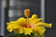 yellow hibiscus [explored] (e.nhan) Tags: life flowers light flower art nature yellow closeup colorful colours dof bokeh backlighting enhan