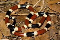 Micruroides euryxanthus (Kevin Stohlgren) Tags: arizona coral snake sonoran coralsnake elapidae micruroides euryxanthus