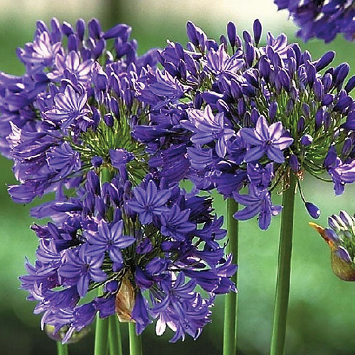 midknight_blue_agapanthus