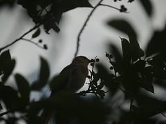 Juvenile oriole eating choke cherries (lostinfog) Tags: 2011 201107 blackbirdslarksandorioles colorado bullocksoriole e300 taxonomy:family=icteridae taxonomy:genus=icterus taxonomy:binomial=icterusbullockii taxonomy:kingdom=animalia taxonomy:phylum=chordata taxonomy:order=passeriformes