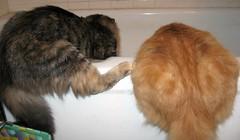 Bathtubbing (elycefeliz) Tags: cats kittens gatos bathtub viva katzen