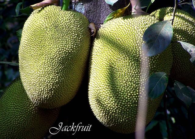 Čo je to Chlebovník - Jackfruit ? कटहल