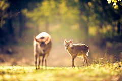 ghostly! (andrew evans.) Tags: morning england sun nature forest sunrise countryside kent spring woods nikon bokeh wildlife deer wonderland magical f28 enchanted d3 400mm