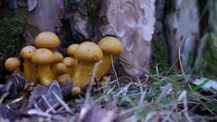 "Gymnopilus junonius mushrooms • <a style=""font-size:0.8em;"" href=""http://www.flickr.com/photos/44919156@N00/6009879935/"" target=""_blank"">View on Flickr</a>"
