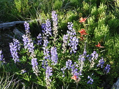 Lupine and paintbrush on Crystal Peak trail.