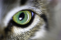 """Cat's Eye"" - 221/365 (Nelson Vargas Photography) Tags: macro eye closeup cat interesting kitten feline nikonpk13 nikond700 nikkormicro55mmf35ais"