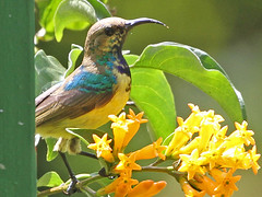 Variable Sunbird, Zomba Plateau (Malawi), 17-May-11 (Dave Appleton) Tags: bird birds malawi variable sunbird passerine venustus variablesunbird cinnyrisvenustus zombaplateau cinnyris yellowbelliedsunbird