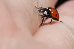 Explorer (pasukaru76) Tags: macro bug insect hand exploring ladybug tamron28300mm
