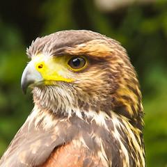raptor (westhues) Tags: pen olympus greifvogel 14150mm epl1 mygearandme