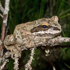 i (Donald Tedrow) Tags: eye reptile frog toad skylakeswilderness donaldtedrow wolfdog21 islandlakeaug32011islandlake
