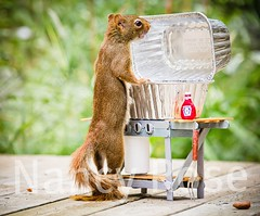 Hey, Nancy, What's for supper? (Nancy Rose) Tags: standing squirrel looking ketchup fork bbq barbecue hungry curious imadethis notphotoshop blinkagain