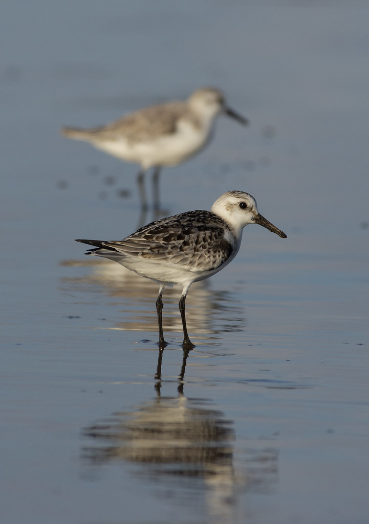 sanderlings reflection
