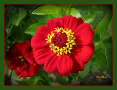 Red Zinnia (clickclique) Tags: red flower green yellow garden cropped zinnia naturesfinest forestwanderernaturephotographyexcellence naturescarousel silverdogbonegroup woofyouawardgroup