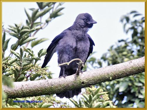 Juvenile Jackdaw 2