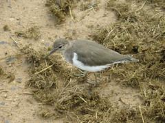 Curlew Sandpiper (PILANESBERGSAFARIS.COM) Tags: birds southafrica pilanesberg pilanesbergnationalpark africanwildlife pilanesberggamereserve wildlifesafaris pilanesbergsafarisandtours pilanesbergwildlife